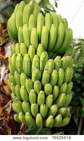 Bananas in a tree