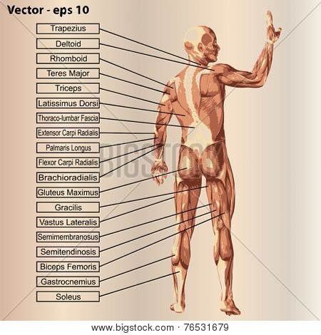 Vector concept or conceptual 3D male or human anatomy, a man with muscles and text on beige vintage background