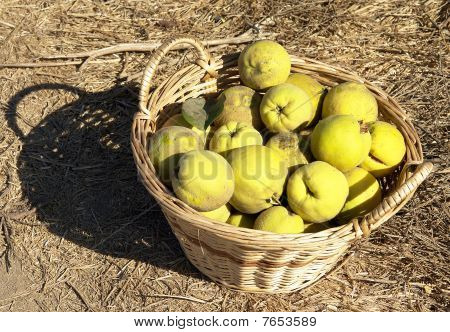 Basket with Quince.