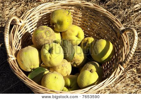 Basket and Quince.