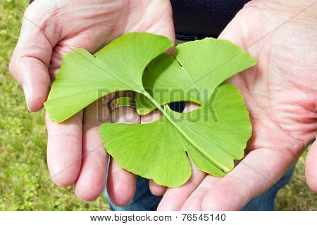 Ginkgo In The Hand