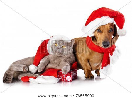 dog  dachshund and  british cat wearing a santa hat