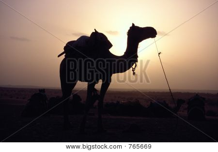 Resting camel in the sand dunes of rajasthan at sunset