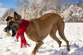 Great Dane attempting to catch yellow ball in the snow wearing a red scarf poster
