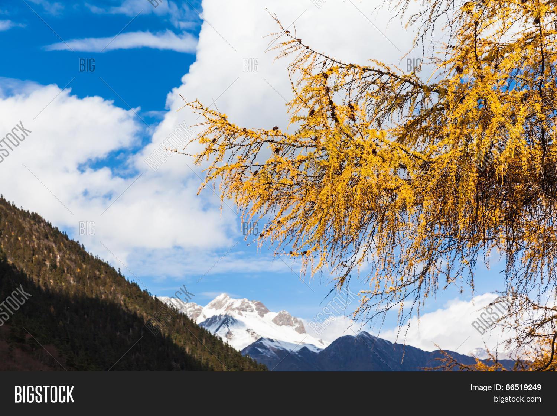 golden pine tree huanglong national image photo bigstock