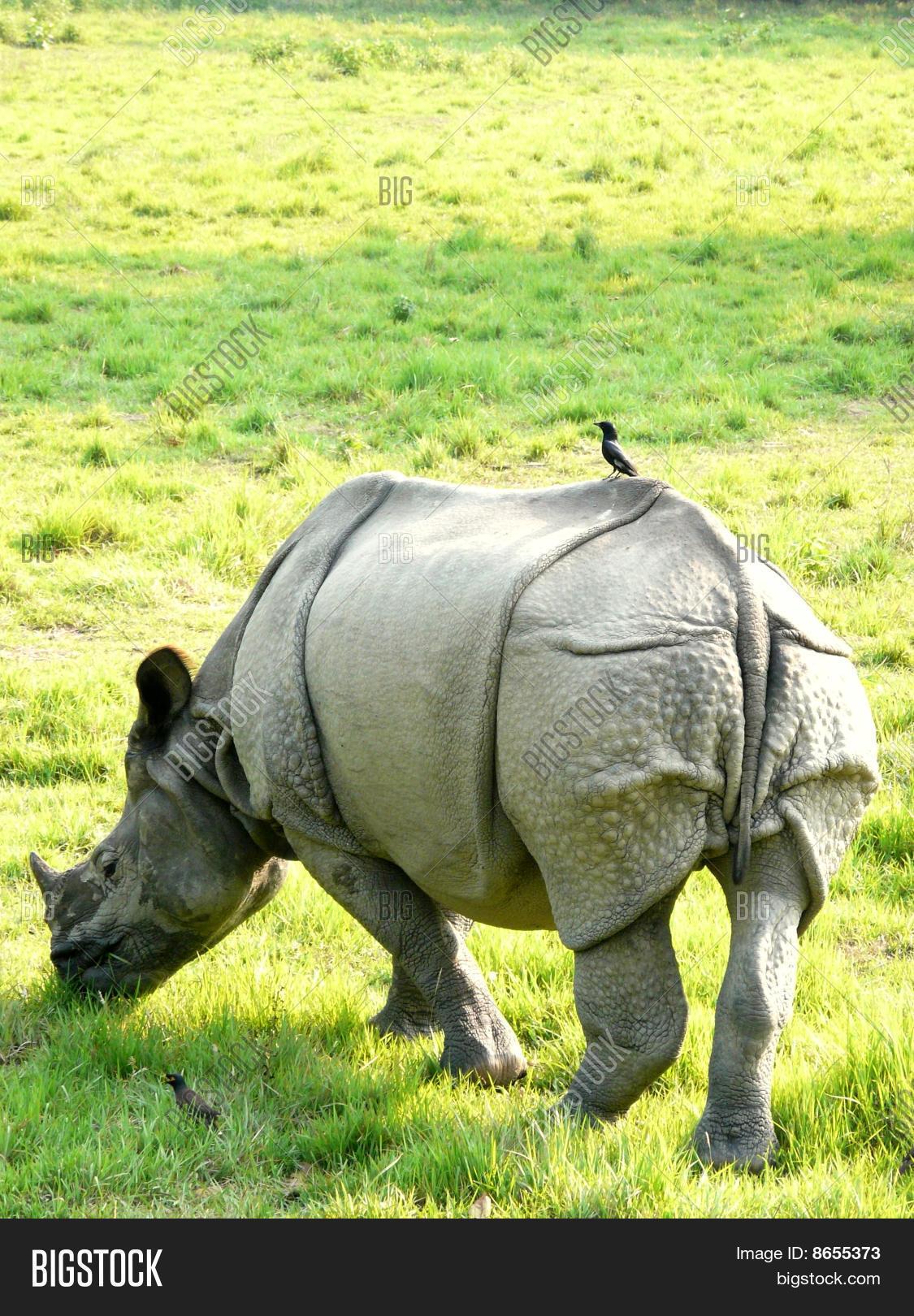 Wild White Rhino Bird Image & Photo (Free Trial) | Bigstock