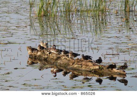Ducks on a log