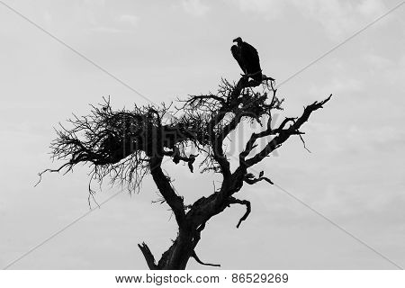 Vulture and sparrow, Africa