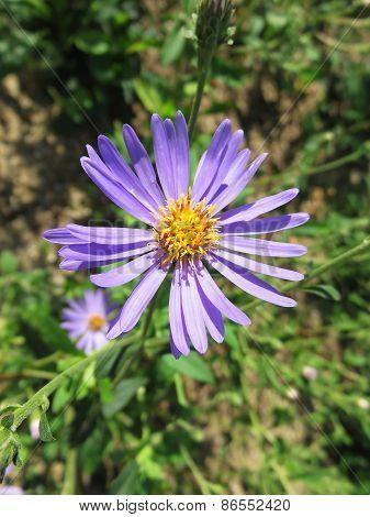 Tweedia Flowers