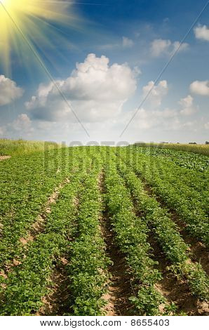 Landscape Of Potato Plantation