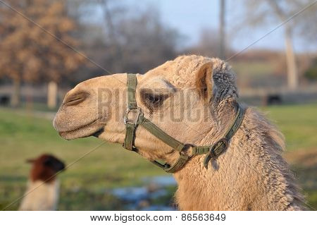 Harnessed Camel Head