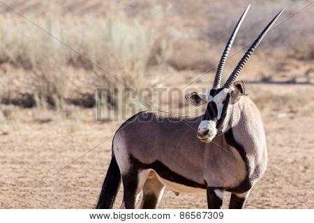 Portrait Of Gemsbok, Oryx Gazella