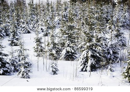 Christmas tree forest.