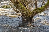 Spring flood with high water levels erodes the soil and threaten to undermine the tree. Tree is old and has stood here for a long time. poster