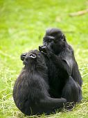Two Crested Black Macaque (Macaca nigra) cleaning each other poster