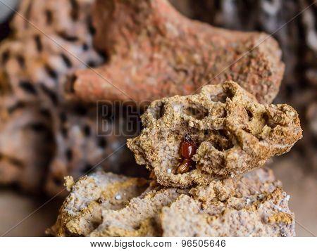 Termite in Nests
