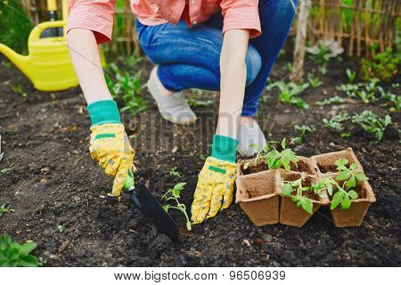 Female in gloves replanting fresh seedlings in soil