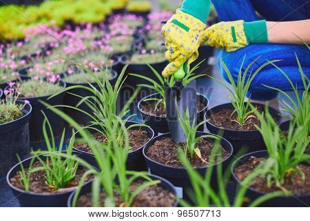 Gloved gardener with special tool replanting green seedlings