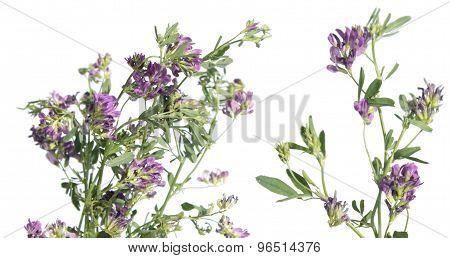 Alfalfa (medicago sativa or lucerne) isolated on white background