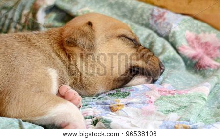 Picture of a Cute amstaff pyppy sleeping