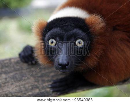 Red Lemur