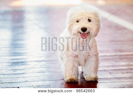 White West Highland White Terrier Westie, Westy Dog