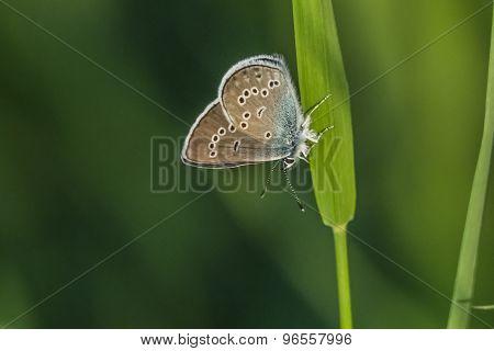 Meleager's blue (polyommatus Semiargus)