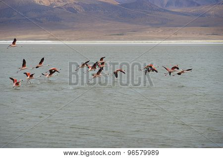 Chilean Flamingos in Flight