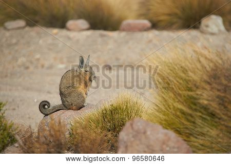 Mountain Viscacha