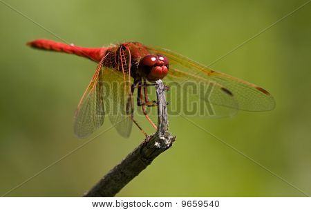 Red Dragonfly on broken twig