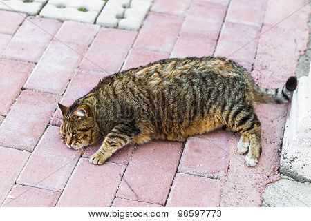 fat cat lyingfat lazy cat in the street in Turkey poster