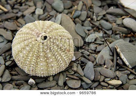 Spiky Shell On Soft Rocks.