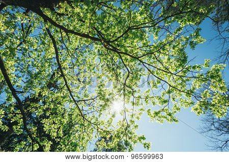 Spring Summer Sun Shining Through Canopy Of Tall Trees. Sunlight In Deciduous Forest, Summer Nature, Sunny Day. Upper Branches Of Tree With Fresh Green Foliage. Low Angle View. Woods Background poster
