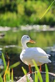 Pure white duck waiting on a rock on the side of a pond on a bright summer day. poster
