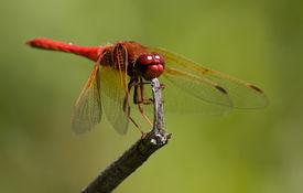Rote Libelle auf gebrochenen Zweig