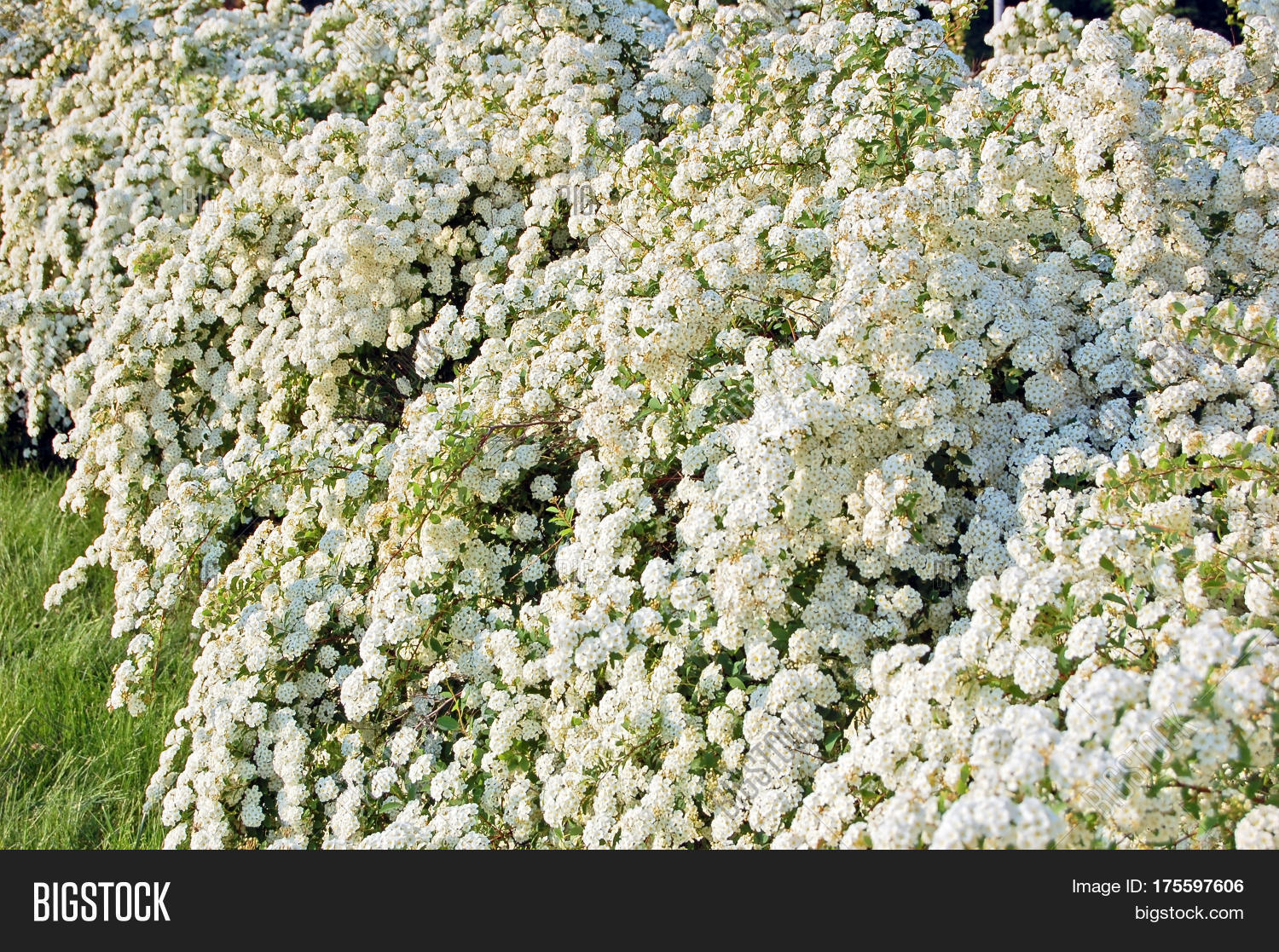 Spiraea Alpine Spring Image Photo Free Trial Bigstock