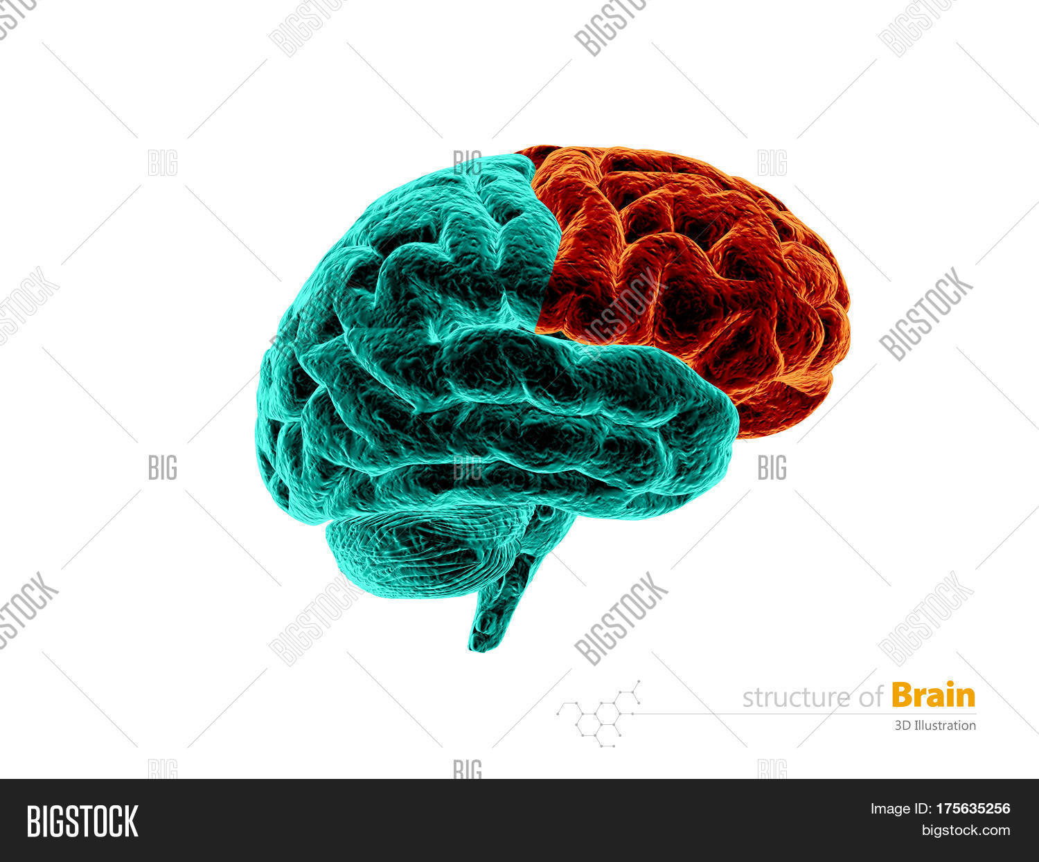 Human Brain Frontal Image & Photo (Free Trial) | Bigstock