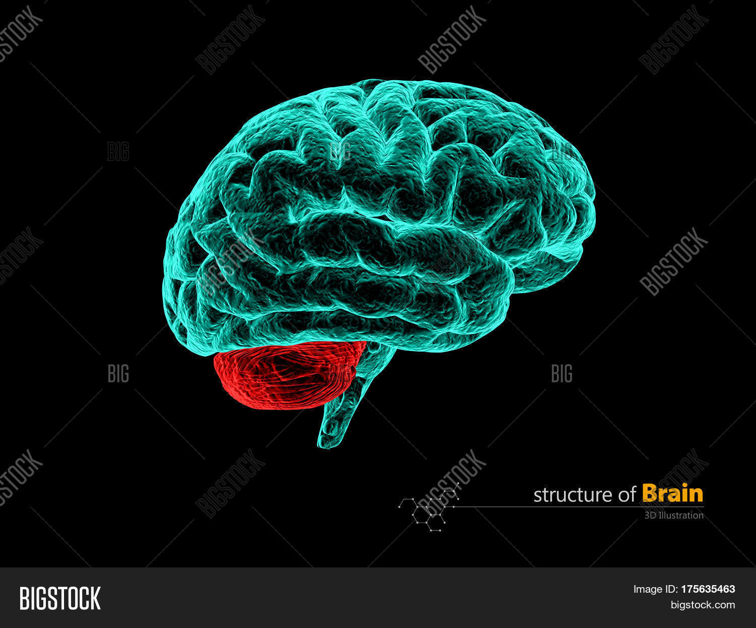 Human Brain Cerebelum Image & Photo (Free Trial) | Bigstock