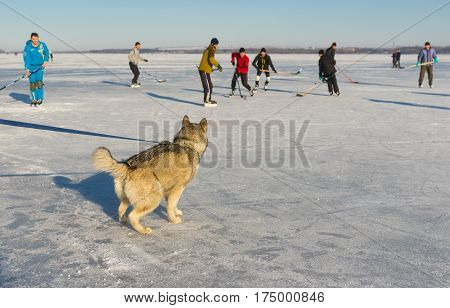 Dnepr Ukraine - January 22, 2017: Young Alaskan Malamute watching with interest hockey game on a frozen river Dnepr in Dnepr city, Ukraine at January 22,2017