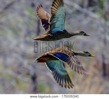 A pair of American black ducks in flight together with the hidden coloring and beauty exposed