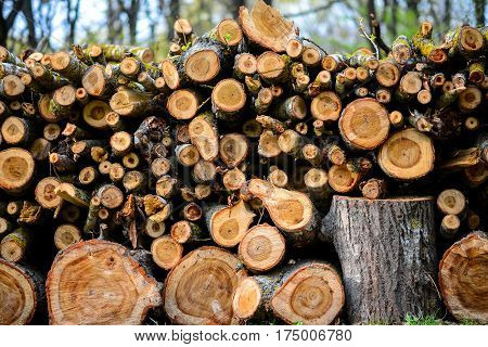 Stacked Wood Logs With Pine Trees
