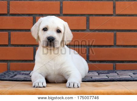 The Little Labrador Puppy On A Brown Background