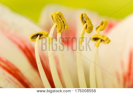 Soft focus image of pastel colored pink amaryllis flowers