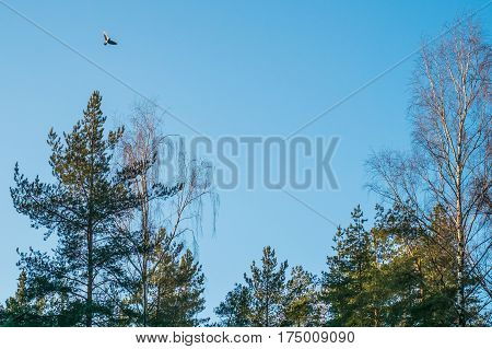 A bird flying over bright pine trees