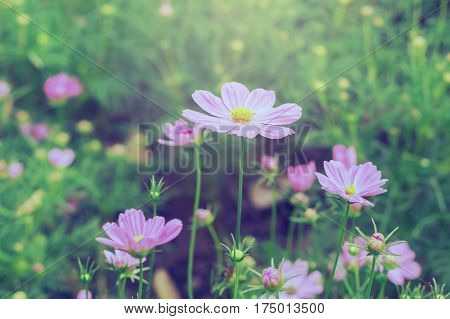 Beautiful pink cosmos flowers blooming in gardenClose up pink cosmos Nature background