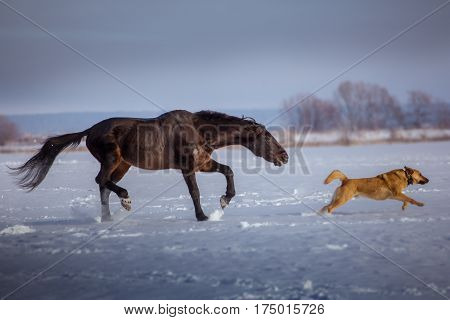 Black horse attacks a red dog  on snow