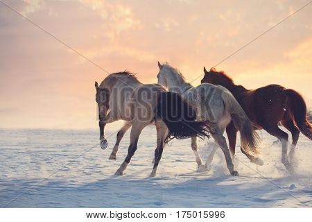 Three horses ran on snow to sanset. Buckskin, white and red horses galloping