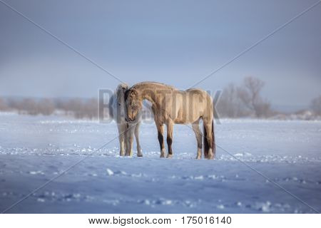 Two horses stay in snow. White and buckskin horses