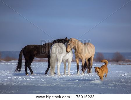 Herd of several horses stay in snow. Black, white and backskin horse and red dog