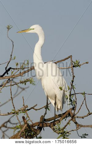 A Great Egret in breeding plumage at the Venice, Florida rookery poster